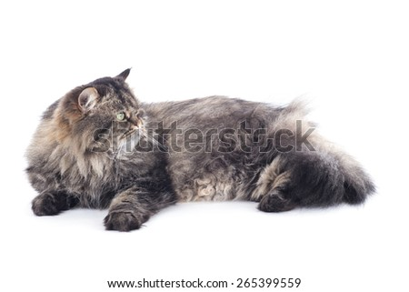 Persian cat lies on a white background