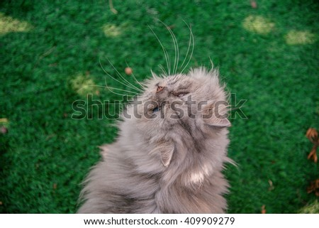 Persian cat look back on grass tufted in the garden - stock photo