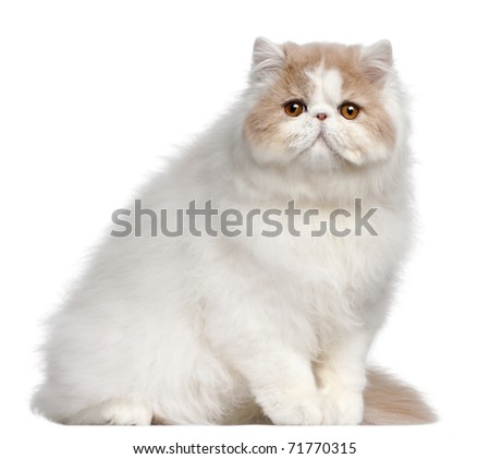 Persian cat, 18 months old, in front of white background - stock photo