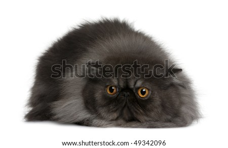 Persian cat, 19 months old, lying in front of white background - stock photo