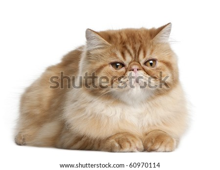 Persian cat, 5 months old, lying in front of white background - stock photo