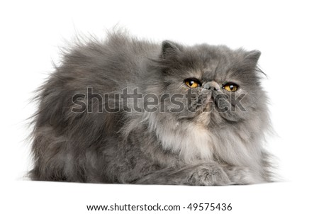 Persian cat, 8 months old, sitting in front of white background - stock photo