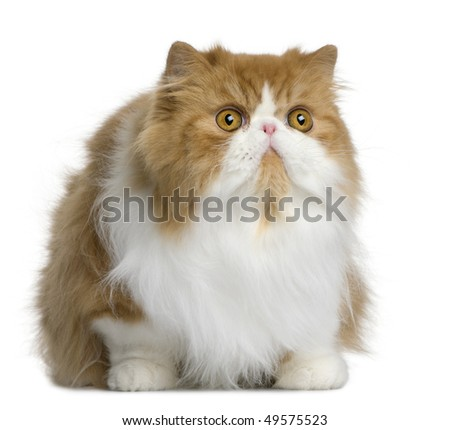 Persian cat, 10 months old, sitting in front of white background - stock photo