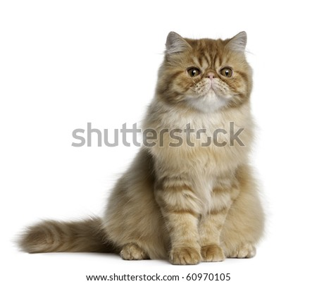 Persian cat, 5 months old, sitting in front of white background - stock photo