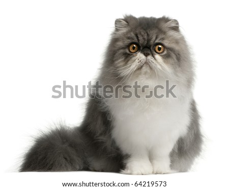 Persian cat, 6 months old, sitting in front of white background - stock photo