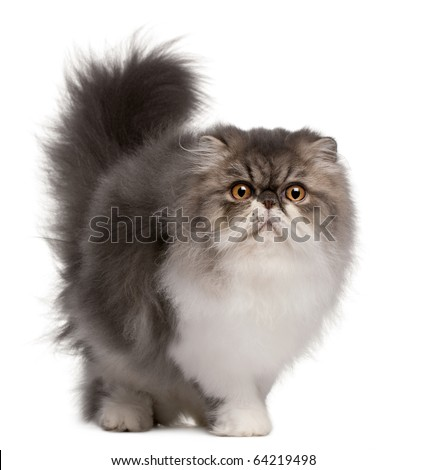Persian cat, 6 months old, standing in front of white background - stock photo