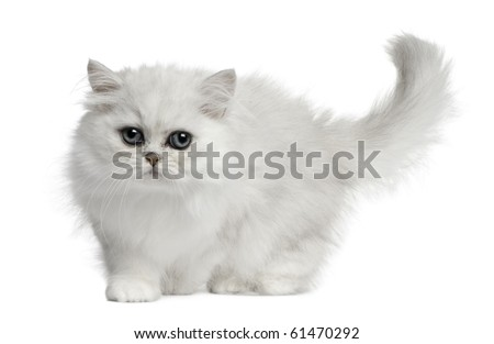 Persian cat, 3 months old, walking in front of white background - stock photo