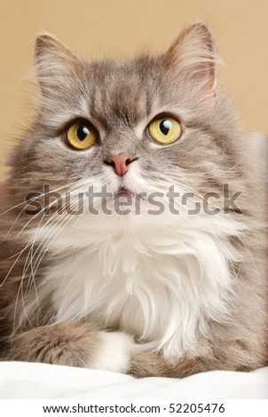 persian cat on bed - stock photo