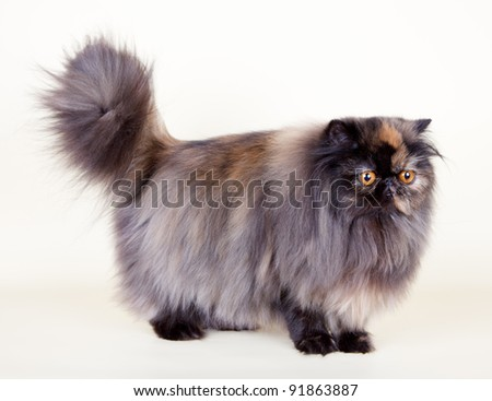 Persian cat on yellow background - stock photo