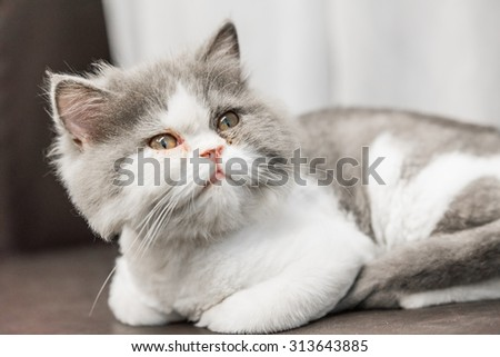 Persian Cat.Persian on brown Sofa Short Hair Style. Selective Focus.