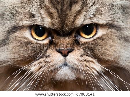 persian cat portrait - stock photo