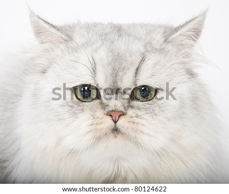 persian cat portrait, cat head
