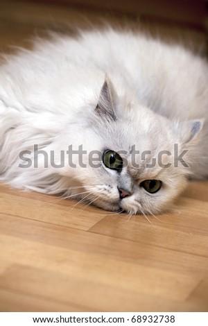 Persian cat relaxing on the floor - stock photo