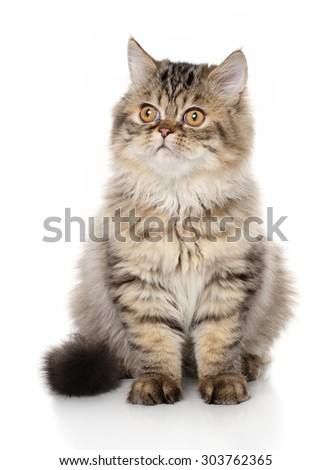 Persian cat sits in front of white background - stock photo