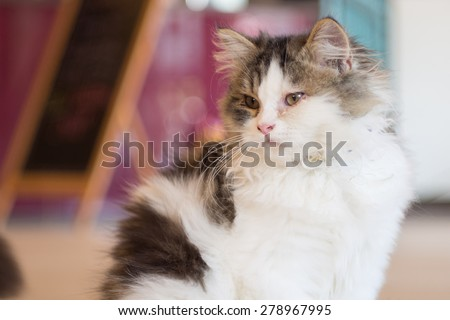 Persian cat sitting in cat cafe