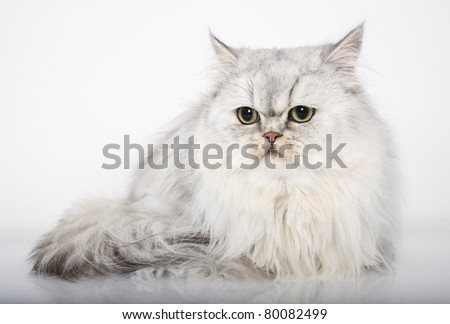 persian cat white background, persian cat