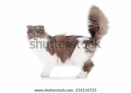 Persian cat with beautiful fluffy tail - stock photo