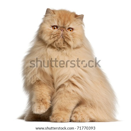 Persian cat, 3 years old, in front of white background - stock photo