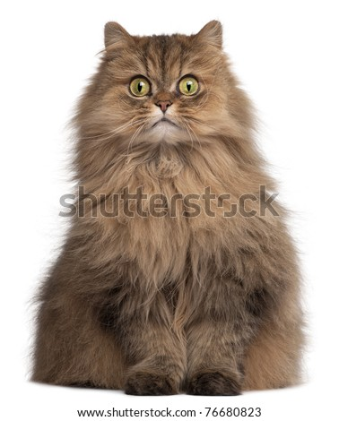 Persian cat, 6 years old, in front of white background - stock photo