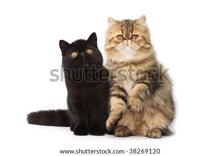 Persian cats - stock photo