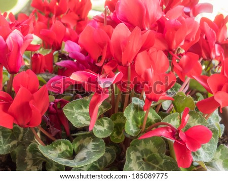 Persian cyclamen (Cyclamen persicum) is a species of flowering herbaceous perennial plant growing from a tuber, native to rocky hillsides, shrubland, and woodland