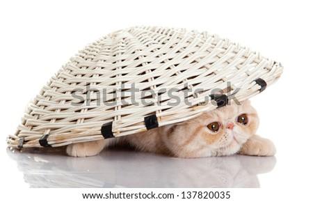 persian exotic kitten under basket isolated - stock photo