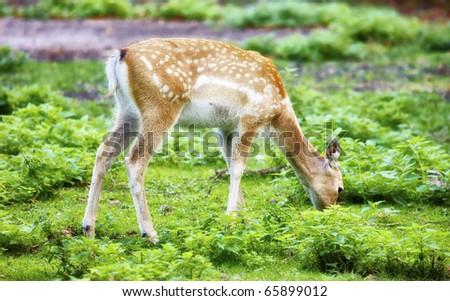 Persian Fallow Deer (Dama mesopotamica) - stock photo