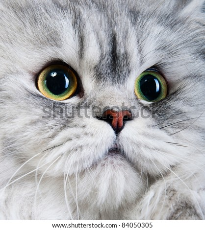 persian gray cat portrait with yellow-green eyes - stock photo