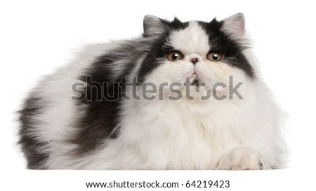 Persian Harlequin cat, 6 months old, lying in front of white background - stock photo