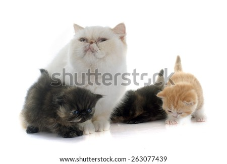 persian kitten and adult in front of white background