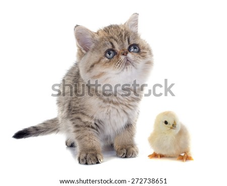 persian kitten and chick in front of white background - stock photo
