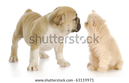 persian kitten and english bulldog greeting each other with reflection on white background - stock photo