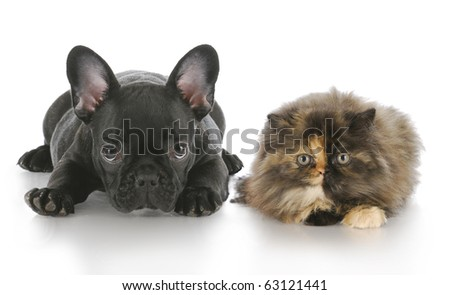 persian kitten and french bulldog puppy laying down looking at viewer with reflection on white background - stock photo