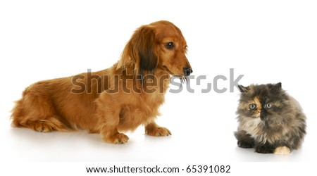 persian kitten and long  haired miniature dachshund with reflection on white background - stock photo