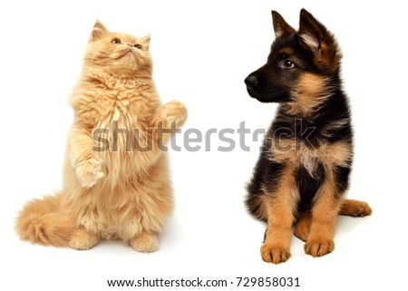 Persian kitten attacking the paws of German Shepherd puppy close-up isolated on a white background.  Set pets Dog and Cat are played