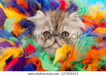 Persian kitten hiding in colorful feather boa - stock photo