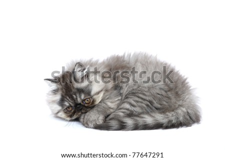 Persian kitten in studio on a white background