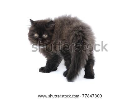 Persian kitten in studio on a white background - stock photo