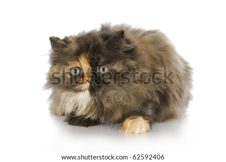 persian kitten laying on white background - tortoise shell color - 12 weeks old