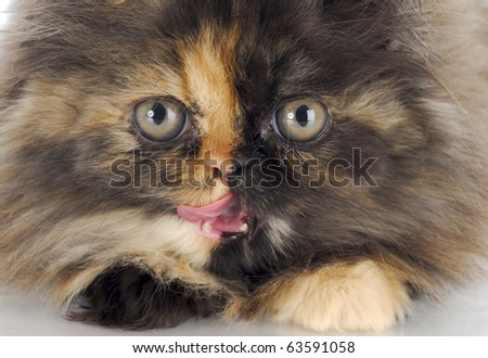 persian kitten licking lips - 12 weeks old