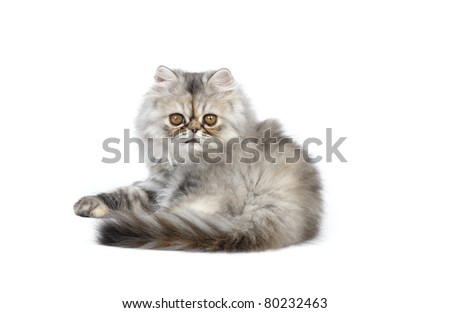 Persian kitten (2 months) in studio on a white background