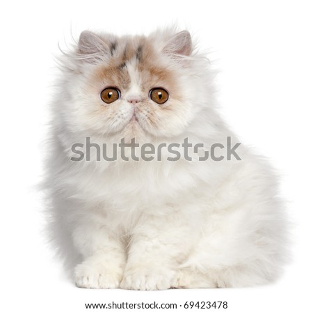 Persian kitten, 3 months old, sitting in front of white background - stock photo