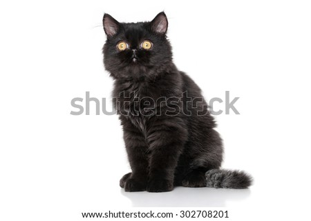 Persian kitten 3 months old sitting on a white background