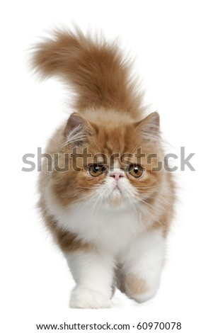 Persian Kitten, 3 months old, walking in front of white background - stock photo