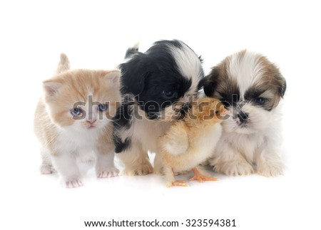 persian kitten , puppy shih tzu and chick in front of white background
