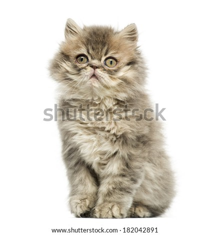 Persian kitten sitting, looking up, 10 weeks old, isolated on white