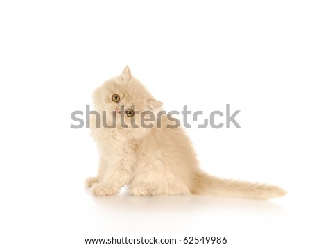 persian kitten sitting on white background - cream color - 12 weeks old - stock photo