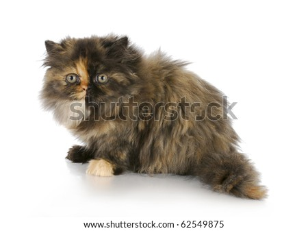 persian kitten sitting on white background - tortoise shell color - 12 weeks old