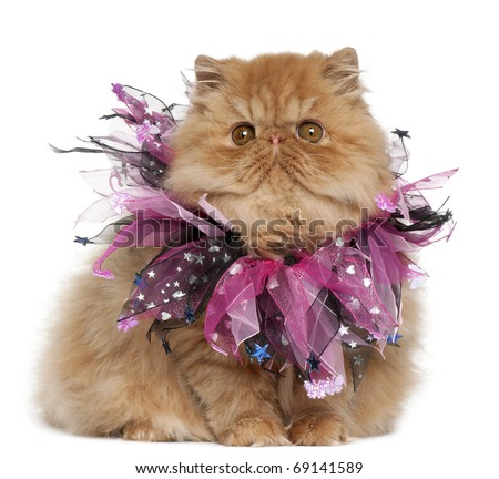 Persian kitten wearing pink ribbons, 4 months old, sitting in front of white background - stock photo