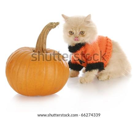 persian kitten wearing pumpkin sweater licking lips sitting beside pumpkin on white background - stock photo